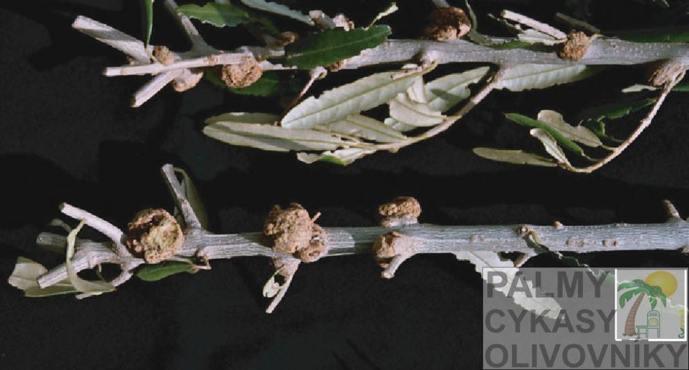 Rakovina olivovnka 1
