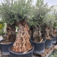 Choroby olivovnkov kodci olivovnkov
