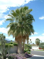 Washingtonia Filifera3