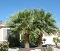 Washingtonia Filifera4