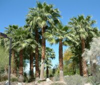 Washingtonia Filifera5
