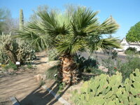 Washingtonia Filifera6