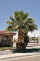 Washingtonia Filifera7