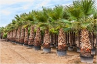 Washingtonia robusta - farma