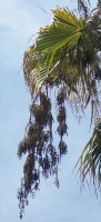 Washingtonia Filifera plody