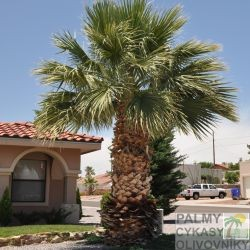 Palma Washingtonia Filifera