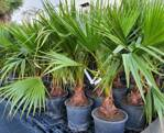 Washingtonia Robusta 100-120cm