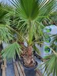 Washingtonia Robusta 160-180cm